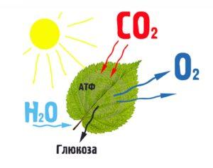 Фотосинтез